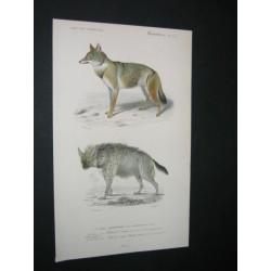 Chacal - Hyène