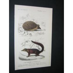 Hedgehog - Tupaia