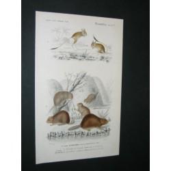 Castor du Canada - Gerboise