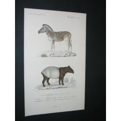 Tapir indien - Dauw