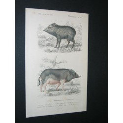 Peccary - Indian pig