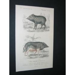 Pécari à collier - Cochon