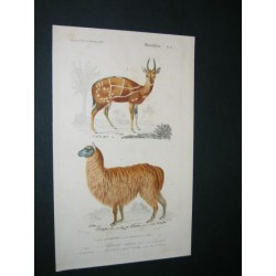 Alpaca - Antelope