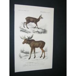 Moose - Mouse deer