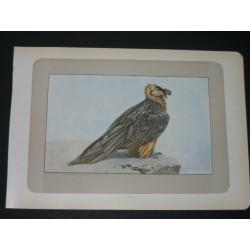 Bearded vulture. Lammergeyer.