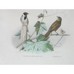 Birds. Ortolan.