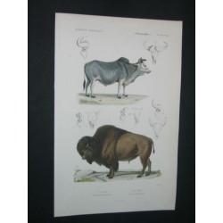 Le zébu - Le bison
