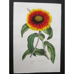 Gaillardia Grandiflora