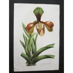 Cypripedium Villosum