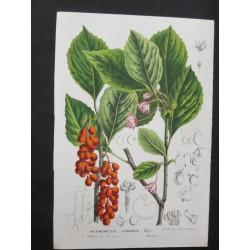 Maximowiczia Chinensis