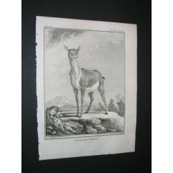 L'antilope femelle