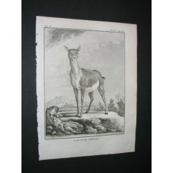 Female antelope