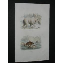Ours blanc et castor