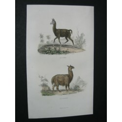 Lama et vigogne