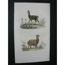 Lama and vicuna