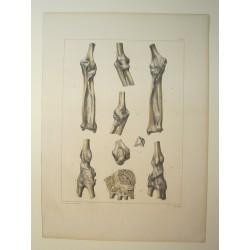 Planche d'anatomie 1850...