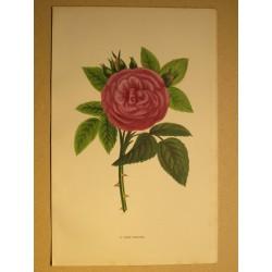 Rose -  John Hopper