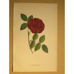 Rose - Monsieur Boncenne