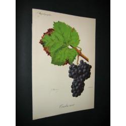 Ampelographie-Grape