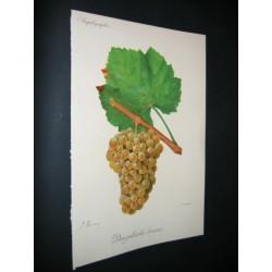 White Grape