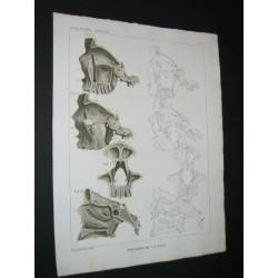 Squelette - Crânes