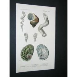 Gasteropod